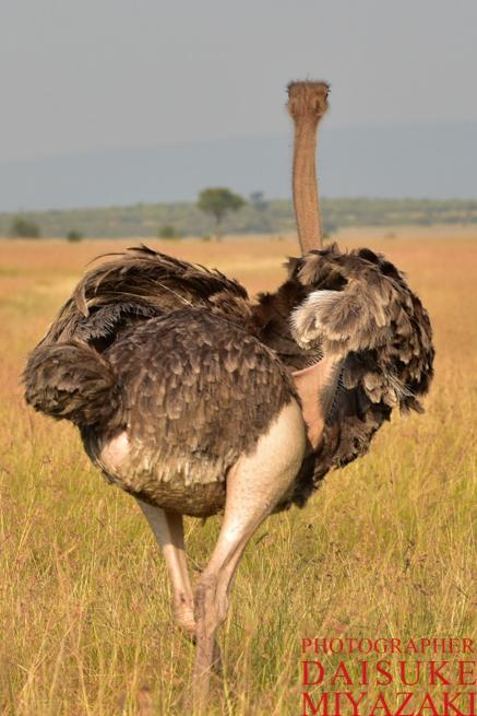 マサイマラ国立公園のダチョウの足