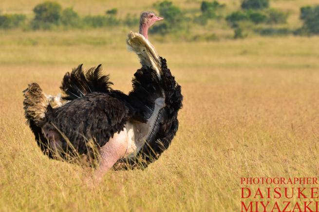マサイマラ国立公園のダチョウの雄