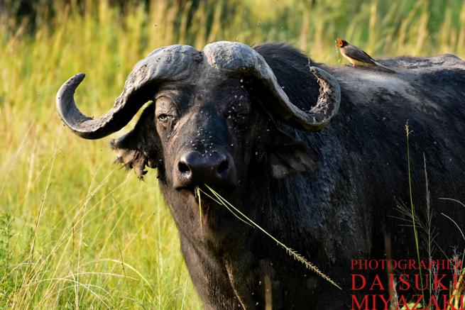 マサイマラ国立公園のバッファロー