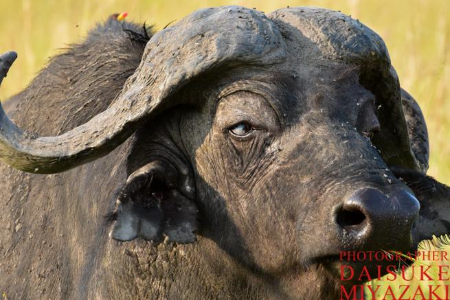 マサイマラ国立公園のバッファローアップ