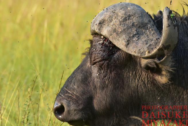 マサイマラ国立公園のバッファローの横顔