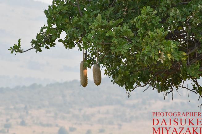 マサイマラ国立公園のマサイ族のビールのもと