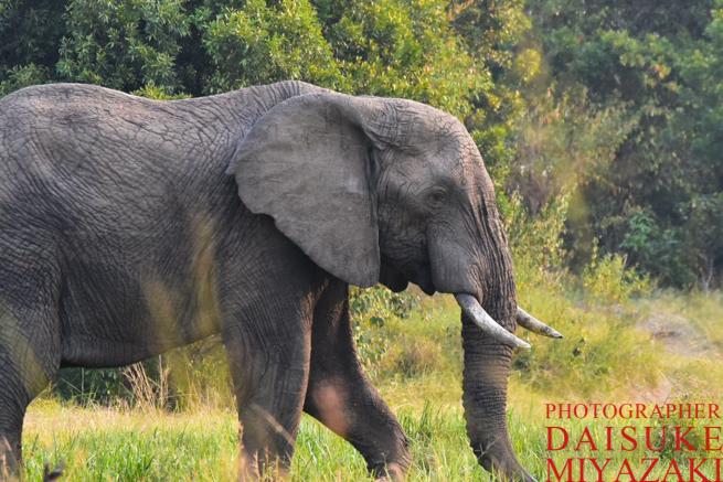 マサイマラ国立公園のゾウ