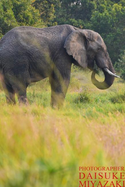 マサイマラ国立公園のゾウ縦