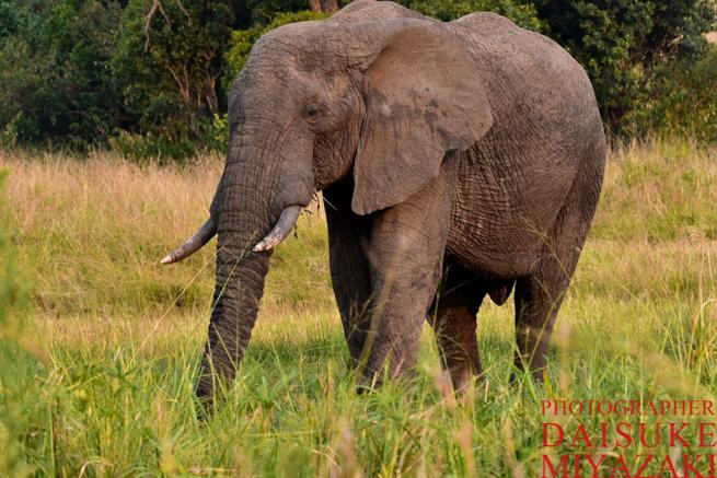 マサイマラ国立公園の歩くゾウ