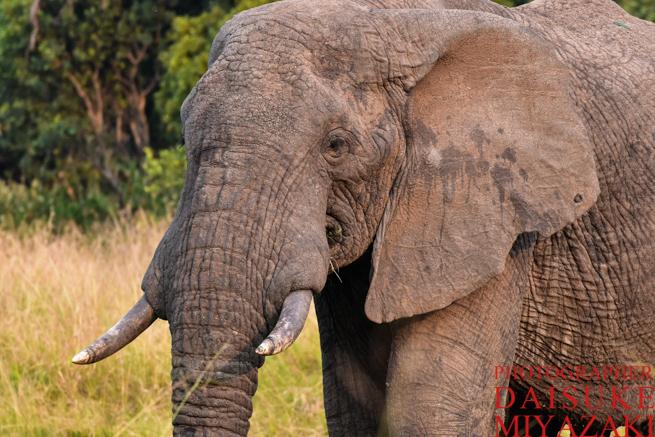 マサイマラ国立公園のゾウアップ