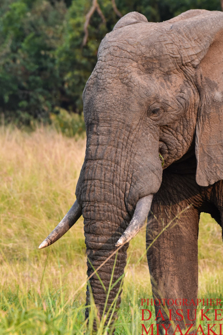 マサイマラ国立公園のゾウの横顔