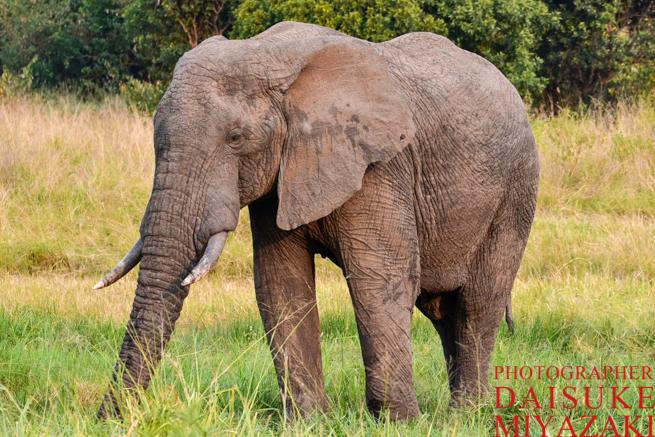 マサイマラ国立公園のゾウさん