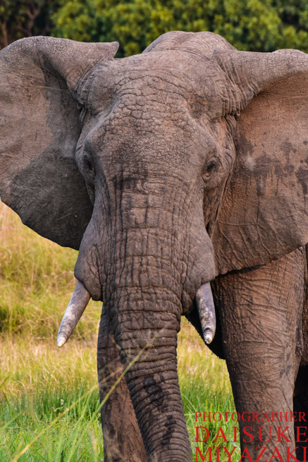 マサイマラ国立公園で威嚇するゾウ