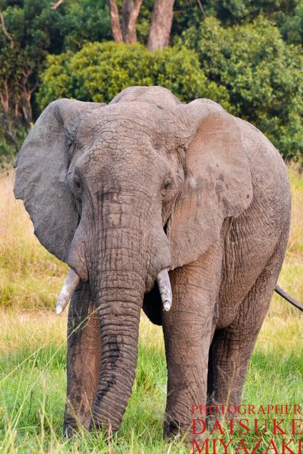 マサイマラ国立公園の正面のゾウ