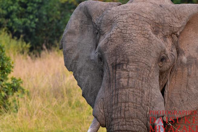マサイマラ国立公園のゾウ寄り目