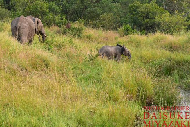 マサイマラ国立公園のゾウの親子