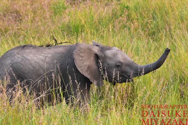マサイマラ国立公園の子供のゾウ
