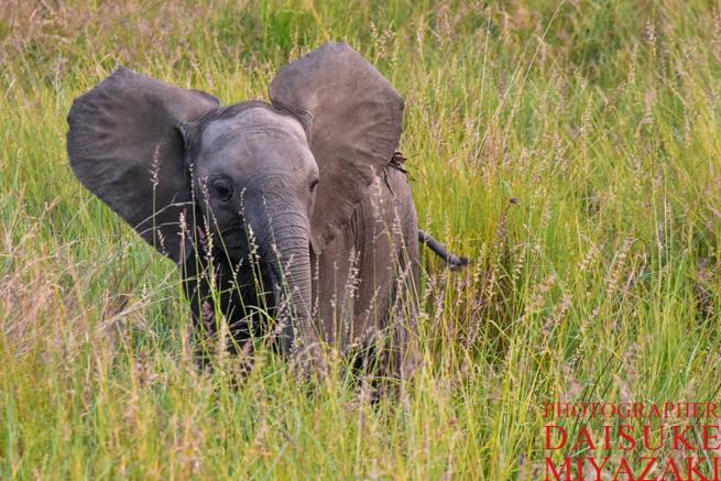 背中のごみを取りたい子供の象
