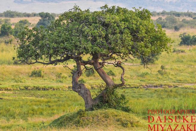 マサイマラ国立公園の木