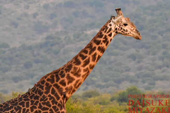 マサイマラ国立公園のキリンのアップ