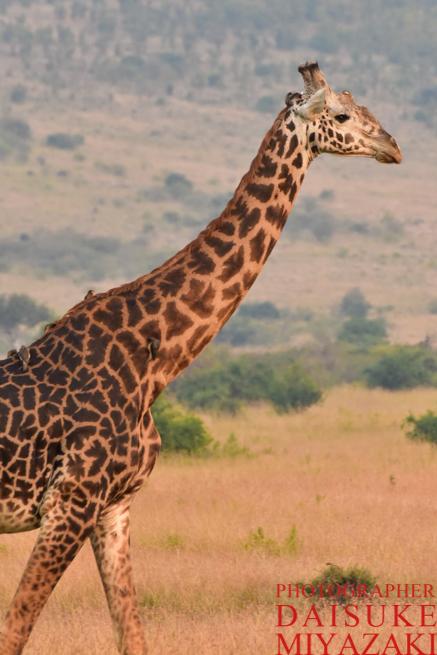 マサイマラ国立公園のキリンの縦