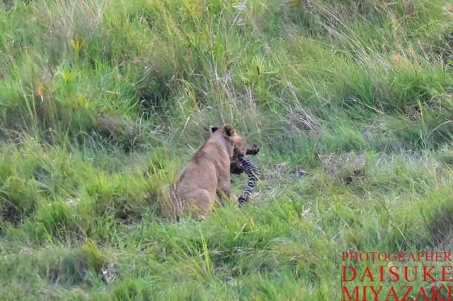 シマウマを食べているライオン