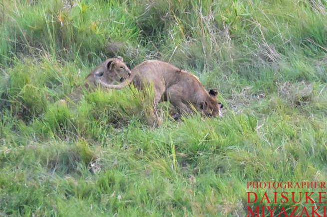 2匹のライオンたち