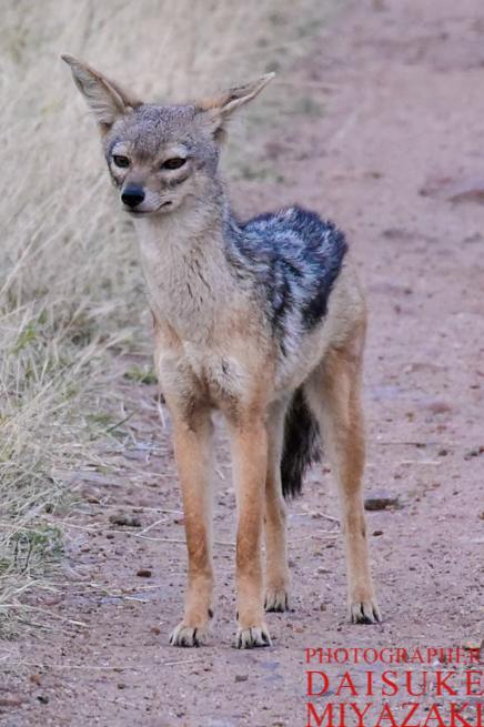 マサイマラ国立公園のジャッカル