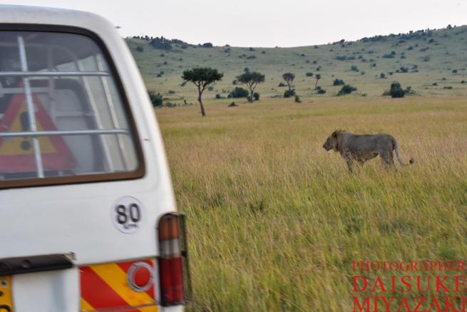 マサイマラ国立公園で車の近くに来たライオン