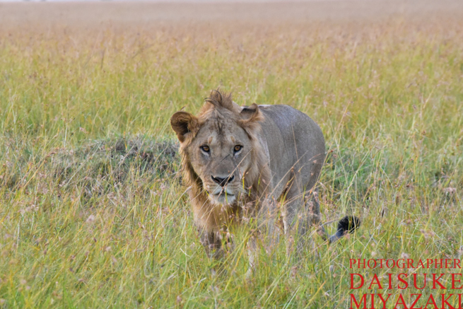 マサイマラ国立公園のライオン