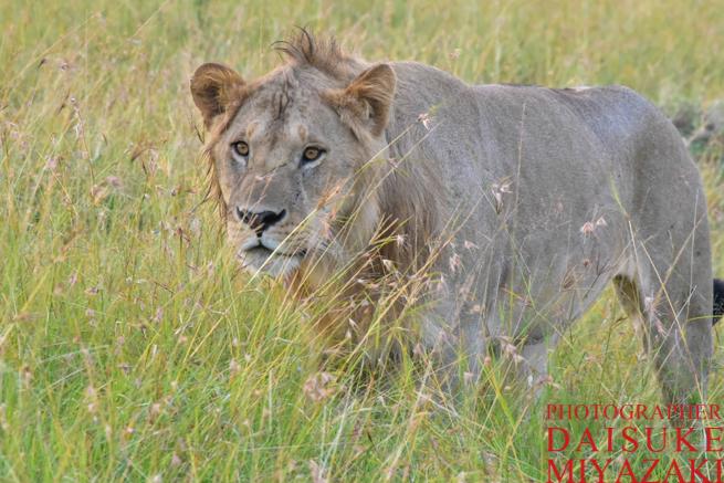 マサイマラ国立公園を歩くライオン