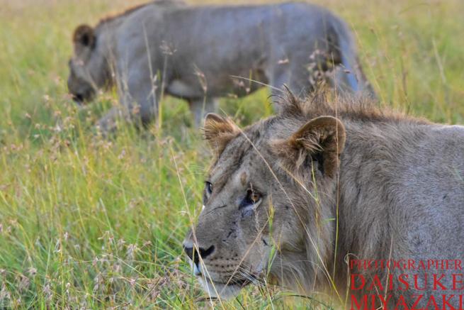 二頭のライオン