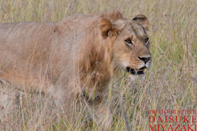 まっすぐ歩くライオン