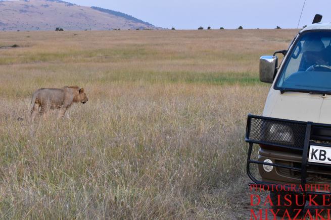 車の脇を歩くライオン