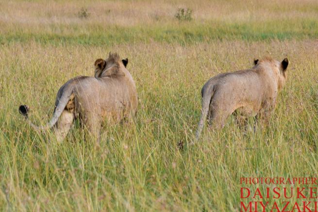 マサイマラ国立公園の二頭のライオン