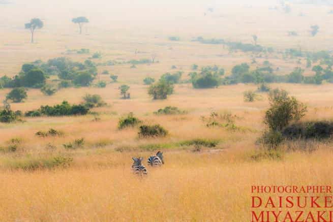 マサイマラ国立公園のシマウマ