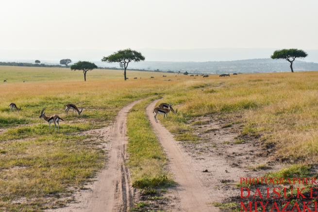 マサイマラ国立公園の草原と轍