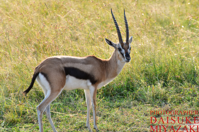 マサイマラ国立公園のガゼル