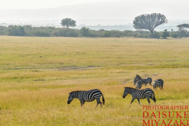 マサイマラ国立公園の草原を歩くシマウマ