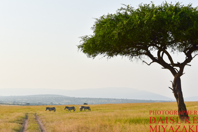 マサイマラ国立公園の木とシマウマ