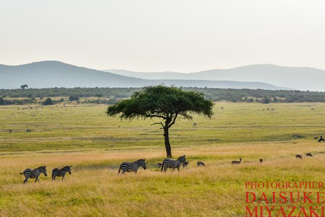 マサイマラ国立公園を移動するシマウマ