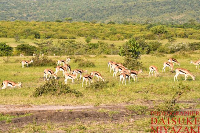 マサイマラ国立公園のガゼルの群れ
