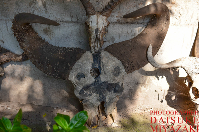 バッファローの頭蓋骨