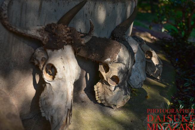 バッファローの頭蓋骨など