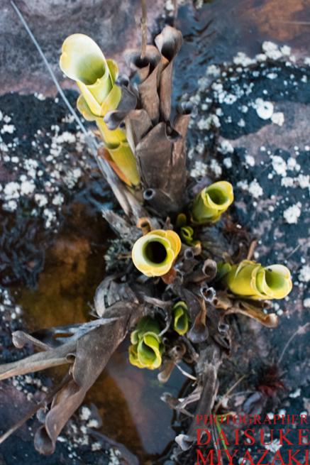 アウヤンテプイの食虫植物