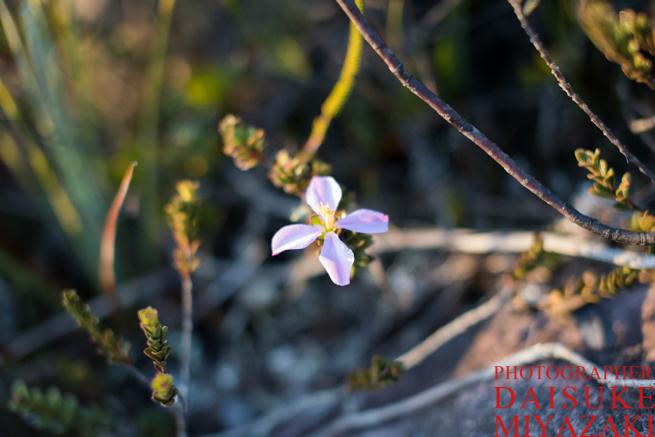 アウヤンテプイに咲く小さな花