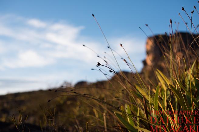 アウヤンテプイで伸びる草