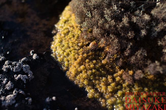 アウヤンテプイに生えている苔