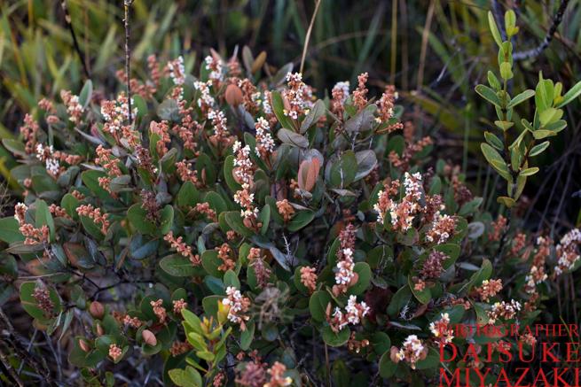 ギアナ高地に咲く花たち