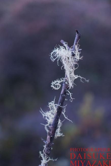 ギアナ高地の木に生えた白い毛