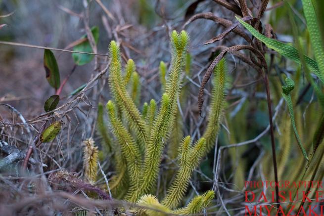 アウヤンテプイのトゲトゲの草