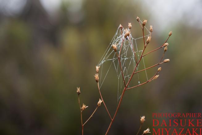アウヤンテプイで水滴がついたクモの糸