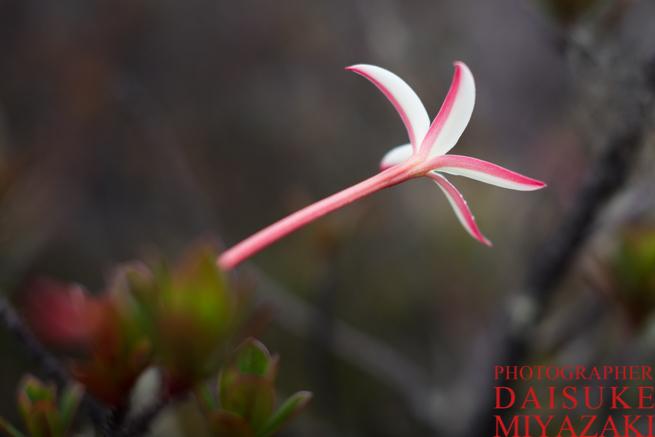 アウヤンテプイの白と紅色の花