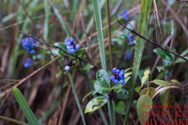 アウヤンテプイの青い実